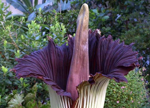 "Watch a rare ""Corpse Flower"" bloom while far away from the smell of death"