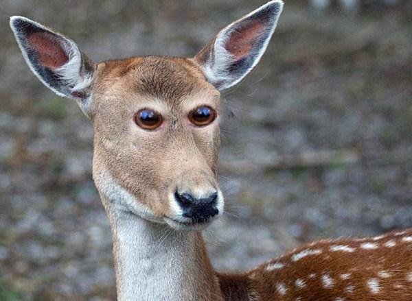 Deer. Oh dear.
