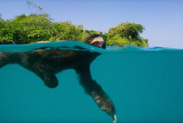 sloth-swimmin
