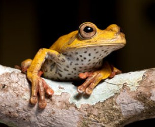 frog amphibian treefrog rainforest branch tropical