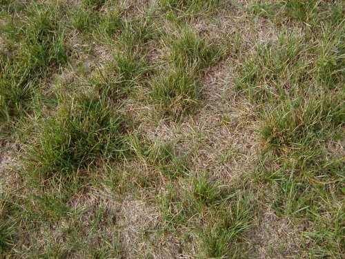 Medium Of Redo Backyard Grass