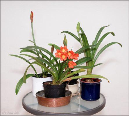 Stolt orange blommar bortglömda clivian tillsammans flera amaryllisar med knopp.