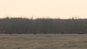 Bison return to land of their ancestors