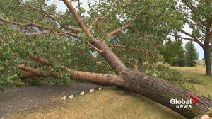 Calgary storms: What to do with damaged trees