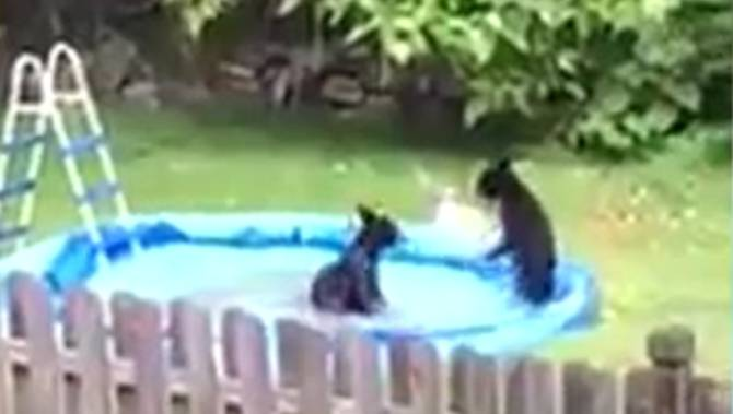 Watch new jersey town invaded by pool hopping bears national for Bears in swimming pool new jersey