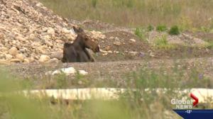 Warning about moose licking vehicles in Kananaskis: Alberta Parks