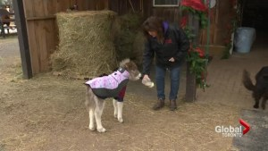 Miniature horse saved by Ontario rescue group