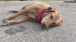 Dog waits by owner's side after she is killed in hit-and-run