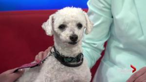Adopt a pet: Sunny the maltese poodle cross