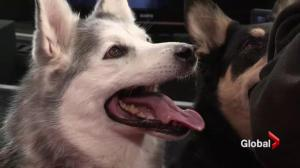 Adopt a pet: Mother and daughter Husky cross pair
