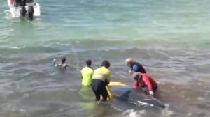 Volunteers struggle to save stranded whales in Australia