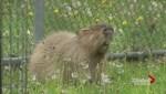 Toronto's great capybara caper continues