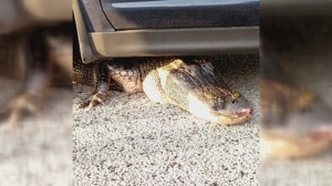 8-foot long alligator gets stuck under car in Florida