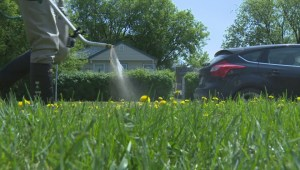 Winnipeg faces another season of battling a sea of yellow
