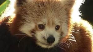 Australian zoo debuts red panda and tiger cubs