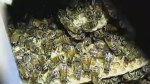 40,000 honeybees relocated from home in Queens, NY