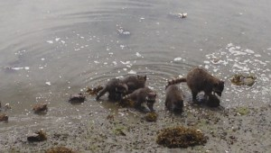 Family of raccoons dig for clams in Coal Harbour
