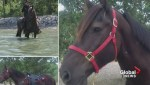 Calgary police mourn death of service horse Ranger
