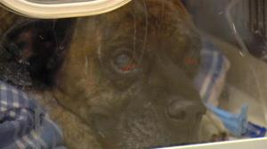 Heroic dog found trying to shield owner from house fire