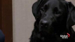 Trauma dog helps child testify at Calgary trial