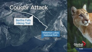 Cougar attack in Waterton Lakes National Park