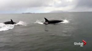 Resident killer whales shine spotlight on endangered animals