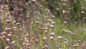 Come help pick invasive plants in Lethbridge