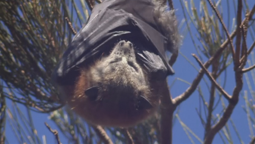 Bats Take Over Australian Town, State of Emergency Declared