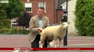 Button the lamb urinates on BBC reporter