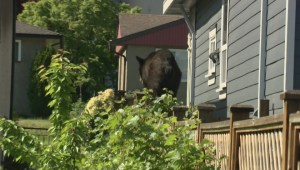 Bear spotted roaming through Burnaby
