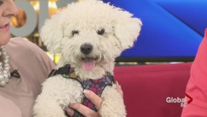 Adopt a Pet: Kimi the Bichon Frise