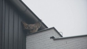 Aggressive owl terrorizing Dutch town