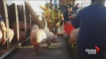 Accident involving pig truck near slaughterhouse leads to arrest of animal rights activist