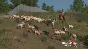 City of Calgary evaluating the use of goats to manage invasive weeds