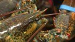 New technology could lead to a boon in lobster exports