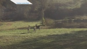 Raw: Rare Piebald Calico deer spotted in Langley backyard