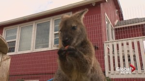 Down under delight: newly-arrived wallabies get warm Calgary welcome