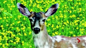 Rare deer shot and killed in Langley