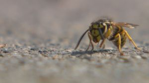 Warm weather leading to increase of wasps in Calgary