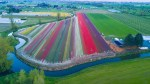 Millions of colourful tulips in bloom in B.C.