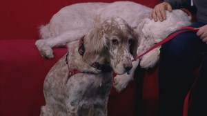 Puppies and dogs in need of a home featured on Global News Morning