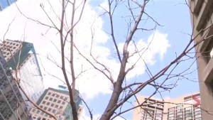 Several dead trees along Martin Goodman Trail being removed