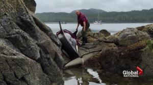 Orca stuck on rocks in B.C. saved by marine experts, volunteers