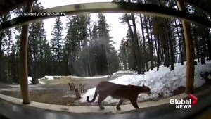 Mama cougar and cubs caught on camera in southern Alberta