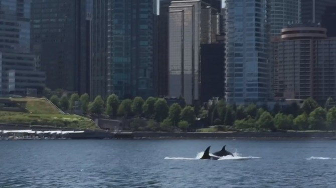 Battle of Burrard Inlet Spotted in Burrard Inlet