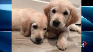 CNIB seeking volunteer puppy raisers in Halifax