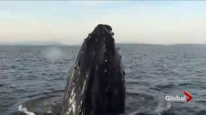 What whale-cams reveal about the lives of humpbacks