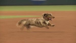 Dachshund evades capture after wiener dog race