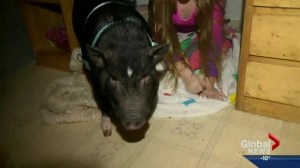 Chuckles the pig allowed to stay home