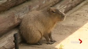 Zoo staff plan stealthy operation to bring back missing capybaras